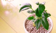観葉植物ガジュマル